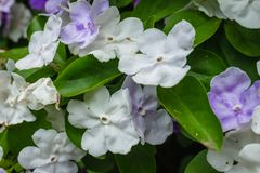 Planta paraguaya del jazmín con las flores blancas y violetas imagen de archivo libre de regalías