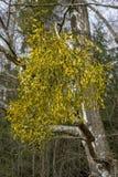 Planta parasítica verde-clara em ramos do vidoeiro foto de stock