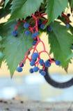 Planta Partnenotsissus Foto de archivo libre de regalías