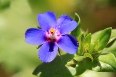 Planta pequeña pero hermosa del monelli del Anagallis de la mala hierba imágenes de archivo libres de regalías