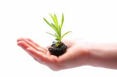 Planta pequena à disposicão Foto de Stock Royalty Free