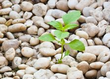 A planta pequena cresce acima no cascalho Imagens de Stock Royalty Free