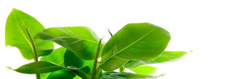 Planta pequena da banana Foto de Stock