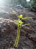 planta pequena do karapincha com beem do sol imagens de stock royalty free
