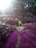 planta pequena do karapincha com beem do sol fotos de stock