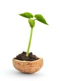 Planta pequena em um nutshell fotos de stock