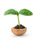 Planta pequena em um nutshell Imagem de Stock