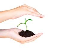 Planta pequena na mão da mulher Imagens de Stock Royalty Free
