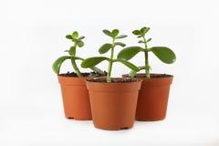 Planta pequena no potenciômetro Fotografia de Stock