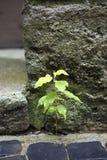 Planta pequena que cresce fora do pavimento Fotografia de Stock Royalty Free