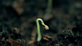 Planta pequena que cresce, tiro macro extremo da natureza Vida nova, lapso de tempo da primavera Conceito da evolução imagem de stock