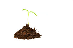 Planta pequena (tomate) isolada no branco Imagens de Stock