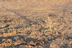 A planta perdida na terra da terra da seca secou sem chuva Imagem de Stock Royalty Free