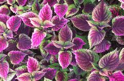 Planta pintada da provocação Fotografia de Stock Royalty Free