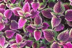 Planta pintada de la ortiga Fotografía de archivo libre de regalías