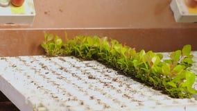 A planta plantou o close-up das mãos Os povos plantaram plantas em uns potenci?metros no transporte Transporte na estufa video estoque