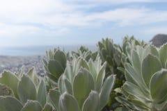 Planta posta em perigo fynbos do granito da península imagens de stock