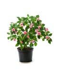 Planta Potted foto de stock royalty free