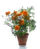 Planta Potted Imagens de Stock