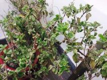 Planta Potted Fotos de Stock Royalty Free