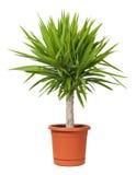 Planta Potted de la yuca Foto de archivo libre de regalías
