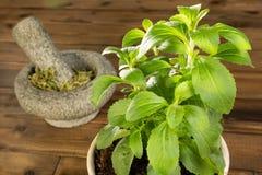 Planta Potted del stevia Foto de archivo libre de regalías
