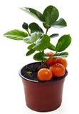 Planta potted nova do mandarino isolada no branco Imagem de Stock