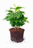 Planta Potted que mostra raizes imagem de stock