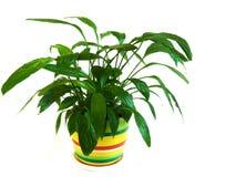 Planta Potted Spathiphyllum Foto de archivo