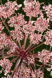 Planta presionada Foto de archivo