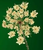 Planta presionada en contraluz Imagen de archivo