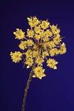 Planta presionada en luz coloreada Imágenes de archivo libres de regalías