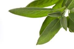 Planta prudente, isolada no fundo branco Fotos de Stock Royalty Free