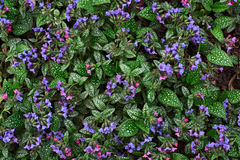 Planta Pulmonaria Foto de Stock Royalty Free