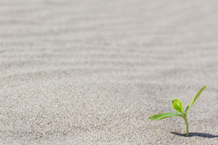 Planta que brota no deserto Broto no Fotos de Stock