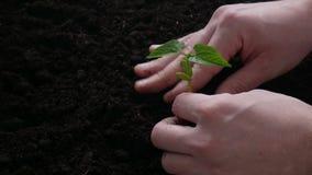 Planta que crece en suelo con agua de la mano metrajes
