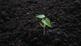 Planta que crece en suelo con agua de la mano almacen de metraje de vídeo