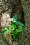 Planta que crece en un hueco de un árbol - 2 Fotos de archivo