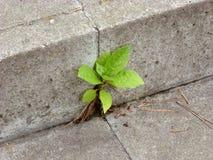 Planta que crece fuera del concreto Fotografía de archivo libre de regalías