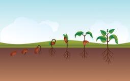 Planta que crece la ilustración de proceso