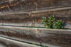 Planta que cresce além da cerca de madeira Fotografia de Stock Royalty Free
