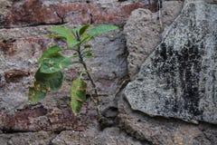 Planta que cresce em uma parede Fotografia de Stock Royalty Free