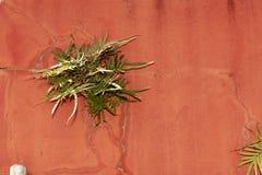 Planta que cresce fora da parede vermelha com quebras fotografia de stock