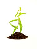 Planta que cresce no solo Fotos de Stock Royalty Free