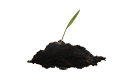 Planta que cresce no solo Fotografia de Stock Royalty Free