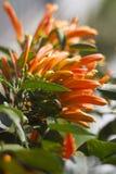 Planta que sube anaranjada Imagen de archivo libre de regalías