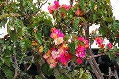 Planta que sube con las hojas verdes, con las flores del color abigarrado Fotos de archivo