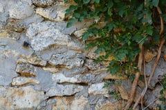 Planta que sube en la pared de piedra Foto de archivo libre de regalías