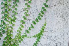 Planta que sube fresca verde en el muro de cemento blanco rústico Fotografía de archivo libre de regalías