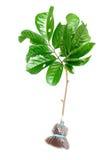 Planta que transplanta e que brota Fotografia de Stock Royalty Free